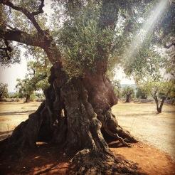 old-olive